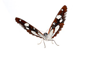 Southern white admiral butterfly (Limenitis reducta), Mannheim, Germany. Meetyourneighbours.net project. - MYN  / Dirk Funhoff