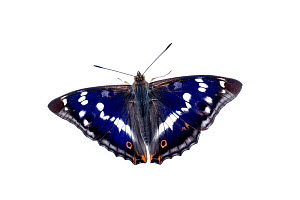 Purple emperor butterfly (Apatura iris) adult, Mannheim, Germany. Meetyourneighbours.net project.  -  MYN  / Dirk Funhoff