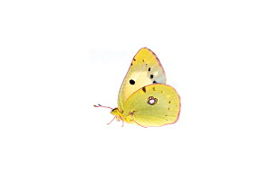 Clouded yellow butterfly (Colias croceus), Lorsch, Hessen, Germany. Meetyourneighbours.net project. - MYN  / Dirk Funhoff