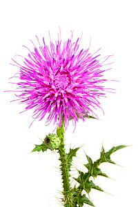 Welted thistle (Carduus acanthoides), Ludwigshafen, Germany. Meetyourneighbours.net project. - MYN  / Dirk Funhoff