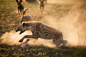 African hunting dogs (Lycaon pictus) pack mobbing a Spotted hyena (Crocuta crocuta). Hyenas follow the dogs and attempt to steal their kills, so the dogs harass them whenever they get a chance. Liuwa... - Huw Cordey