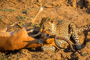 Leopard (Panthera pardus) female suffocating a male Impala (Aepyceros melampus) after ambushing it in a gully. South Luangwa National Park, Zambia. - Huw Cordey