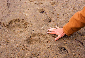 Polar bear (Ursus arctos) footprints with human hand for scale, Labrador, Canada. June 2010  -  Huw Cordey