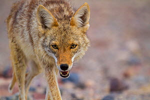 Coyote (Canis latrans), Death Valley, California. May.  -  Huw Cordey