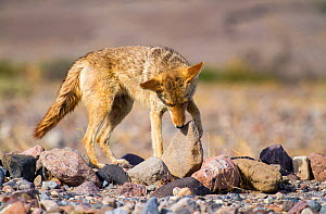 Coyote (Canis latrans) foraging, Death Valley, California. May.  -  Huw Cordey