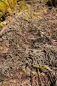 Red-side garter snakes (Thamnophis sirtalis parietalis) following their emergence from hibernation. Narcisse snake dens, Manitoba, Canada. The dens are home to over 50,000 garter snakes, making it the...  -  Huw Cordey