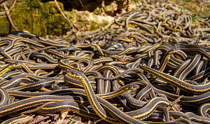 Red-side garter snakes (Thamnophis sirtalis parietalis) following their emergence from hibernation, Narcisse snake dens, Manitoba, Canada. These are mostly males who mass outside the dens waiting for...  -  Huw Cordey