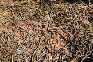 Red-side garter snakes (Thamnophis sirtalis parietalis) following their emergence from hibernation. Narcisse snake dens, Manitoba, Canada. The dens are home to over 50,000 garter snakes making it the...  -  Huw Cordey