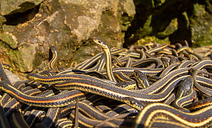Red-side garter snakes (Thamnophis sirtalis parietalis) outside their hibernation dens. Narcisse snake dens, Manitoba, Canada. The dens are home to over 50,000 garter snakes, making it the greatest co...  -  Huw Cordey