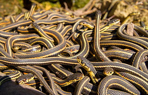 Red-side garter snakes (Thamnophis sirtalis parietalis) outside hibernation dens. Narcisse snake dens, Manitoba, Canada. The dens are home to over 50,000 garter snakes, making it the greatest concentr...  -  Huw Cordey