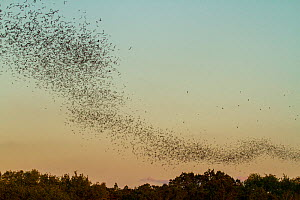 Mexican free-tailed bats, (Tadarida brasiliensis), leaving Bracken Cave, Texas. Bracken Cave is the summertime home of over 15 milions bats, making it the largest colony of bats in the world and one o...  -  Huw Cordey