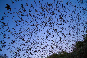 Mexican free tailed bats, (Tadarida brasiliensis), leaving Bracken Cave, Texas. Bracken Cave is the summertime home of over 15 milions bats, making it the largest colony of bats in the world and one o...  -  Huw Cordey