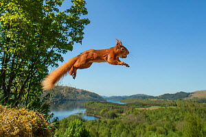 Red squirrel (Sciurus vulgaris) leaping with nut in mouth. Scotland, UK. Small repro only. - SCOTLAND: The Big Picture