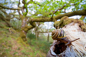 White-lipped snail (Cepaea hortensis) on oak branch within oak woodland, Scotland, UK, May. - SCOTLAND: The Big Picture