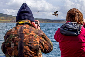 Man and woman rear view, photographing White-tailed sea eagle (Haliaeetus albicilla) taking fish, Isle of Mull, Argyll and Bute, Scotland, UK, May.  -  SCOTLAND: The Big Picture