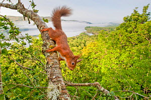 Red squirrel (Sciurus vulgaris) on branch in oak woodland with Loch Awe in background. Argyll and Bute, Scotland, UK, June.  -  SCOTLAND: The Big Picture