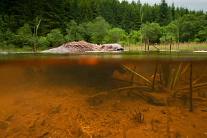 Beaver (Castor fiber) foraging in a Scottish lochan, Knapdale, Argyll and Bute, Scotland, January.  -  SCOTLAND: The Big Picture