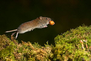 Bank vole (Clethrionomys glareolus) jumping over moss with hazel nut in mouth. Kilchrenan, Argyll and Bute, Scotland, UK. February.  -  SCOTLAND: The Big Picture