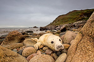 Grey seal (Halichoerus grypus) pup hauled out on rocky beach, west coast of Scotland, September.  -  SCOTLAND: The Big Picture