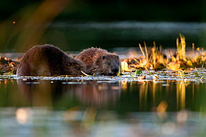 European beaver (Castor fiber) pair foraging in water, Knapdale, Agyll and Bute, Scotland, UK, July.  -  SCOTLAND: The Big Picture