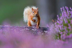Red squirrel (Sciurus vulgaris) on trunk surrounded by heather, Cairngorms National Park, Scotland, UK, August. - SCOTLAND: The Big Picture