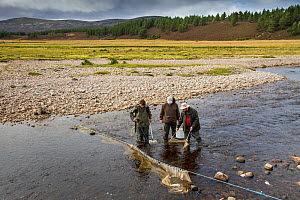 Spey Fishery Board biologists electrofishing on the river Dulnain to survey Atlantic salmon (Salmo salar) fry and parr, Cairngorms National Park, Scotland, UK, September 2015. - SCOTLAND: The Big Picture