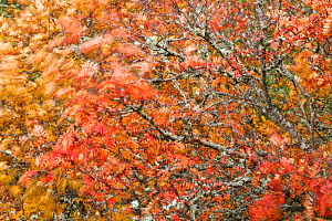 Abstract image of autumnal Rowan (Sorbus aucuparia) tree leaves blowing in the wind, Cairngorms National Park, Scotland, UK, October. - SCOTLAND: The Big Picture