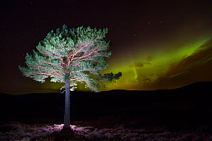 Scots pine (Pinus sylvestris) with Northern lights / Aurora borealis lighting up the night sky in background, Monadhliath Mountains, Cairngorms National Park, Scotland, UK, October 2015.  -  SCOTLAND: The Big Picture