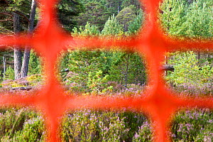 High visibility deer fencing used in woodland where Capercaillie (Tetrao urogallus) and Black grouse (Tetrao tetrix) may be present to reduce risk of these birds flying into the structures and dying....  -  SCOTLAND: The Big Picture
