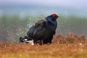 Black grouse (Tetrao tetrix) male shaking off water after heavy rain, Cairngorms National Park, Scotland, UK, April.  -  SCOTLAND: The Big Picture