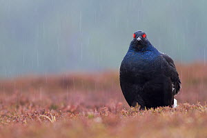 Black grouse (Tetrao tetrix) male standing in heavy rainfall at a lek site, Cairngorms National Park, Scotland, UK, April.  -  SCOTLAND: The Big Picture