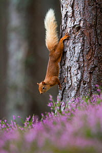 Red squirrel (Sciurus vulgaris) on tree trunk, Cairngorms National Park, Scotland, UK, August. - SCOTLAND: The Big Picture