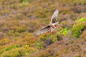 Hen Harrier (Circus cyaneus) in flight over heather moorland on upland grouse shooting estate, Scotland, UK. - SCOTLAND: The Big Picture