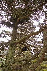 Hoisting Golden Eagle chick  back up to nest in pine tree after it has been ringed and monitored  for research project, Scotland, UK. June 2016.  -  SCOTLAND: The Big Picture
