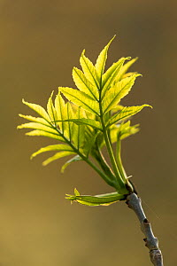 Ash leaves (Fraxinus excelsior) fresh foliage in spring, Perthshire, Scotland, UK.  -  SCOTLAND: The Big Picture