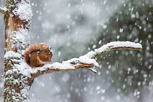 Red Squirrel (Sciurus vulgaris) on branch in heavy snowfall, Scotland, UK. February. - SCOTLAND: The Big Picture