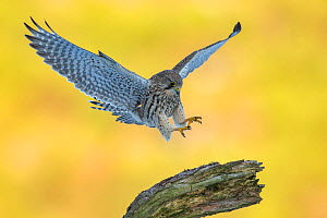 Kestrel (Falco tinnunculus) female alighting onto perch , Scotland, UK.  -  SCOTLAND: The Big Picture