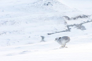 Mountain hare (Lepus timidus) in winter coat running across snow-covered upland, Scotland, UK. January.  -  SCOTLAND: The Big Picture