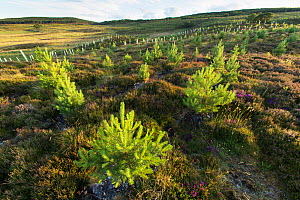Planted Scots pine spalings (Pinus sylvestris) growing in area of nwly planted woodland near Duthil, Cairngorms National Park, Scotland, UK, July 2016. - SCOTLAND: The Big Picture
