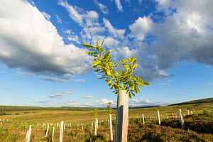 Oak sapling (Quercus robor) growing in tree guard on newly planted area of woodland protected by deer fence, near Duthil, Cairngorms National Park, Scotland, UK, July 2016. - SCOTLAND: The Big Picture