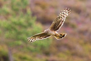 Hen harrier (Circus cyaneus) adult female in flight over heather moorland, Scotland, UK. July. - SCOTLAND: The Big Picture