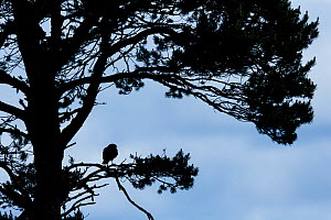 Hen harrier (Circus cyaneus) adult female silhouetted perched in Scots pine tree, Scotland, UK. July. - SCOTLAND: The Big Picture