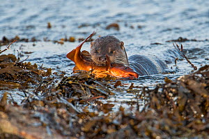 European river otter (Lutra lutra) bringing Atlantic cod (Gadus morhua) ashore, Shetland, Scotland, UK, July. Small repro only.  -  SCOTLAND: The Big Picture