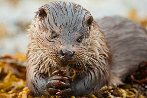 European river otter (Lutra lutra) feeding on a Scorpion fish (Taurulus bubalis), Shetland, Scotland, UK, March.  -  SCOTLAND: The Big Picture