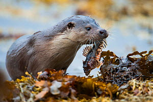 European river otter (Lutra lutra) carrying a Scorpionfish (Taurulus bubalis) ashore, Shetland, Scotland, UK, March.  -  SCOTLAND: The Big Picture