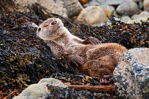 European river otter (Lutra lutra) sleeping on rocky shore, Shetland, Scotland, UK, July.  -  SCOTLAND: The Big Picture