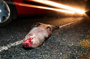 European river otter (Lutra lutra) hit by a car, Shetland, Scotland, UK, December.  -  SCOTLAND: The Big Picture