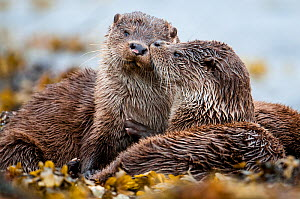 European river otter (Lutra lutra) cub grooming sibling, Shetland, Scotland, UK, July.  -  SCOTLAND: The Big Picture