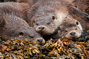 A family of otters rest on the intertidal seaweed. European river otter (Lutra lutra) Shetland, Scotland, UK, July. - SCOTLAND: The Big Picture