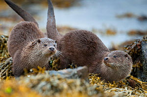 European river otter (Lutra lutra) female and cub sprainting, Shetland, Scotland, UK, July.  -  SCOTLAND: The Big Picture